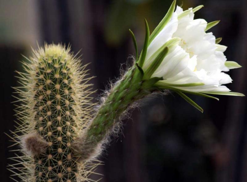 ядовитые кактусы фото лет исполнилось ребенку